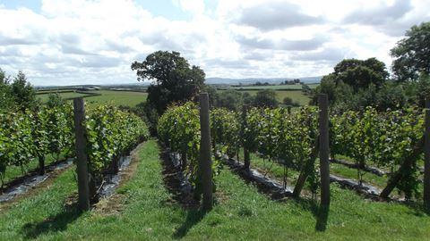 Ten Acres Vineyard In Winkleigh Devon